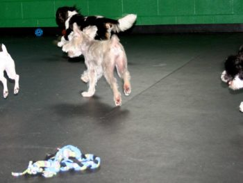 Four small dogs run through an indoor dog daycare facility on black mats.