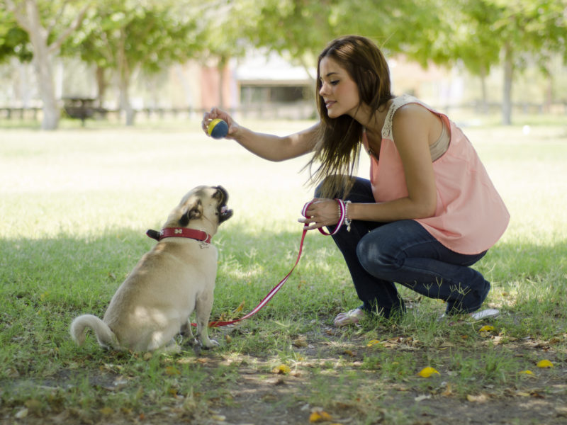 A woman shows a blue and yellow ball to her small dog who is sitting and ready to start playing.