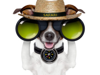 "Photoshopped dog wearing a straw hat with the word ""Safari"" stitched in yellow on the black band. The dog is holding large black binoculars with green lenses and is wearing a compass on its black collar."