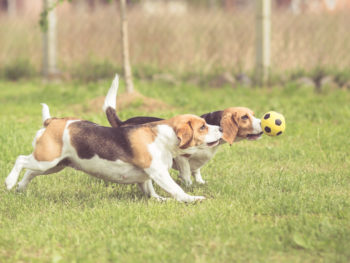Two beagles play with a small yellow soccer ball toy within a fenced in area.