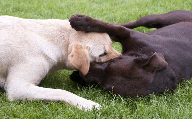 Two dogs lay in the green grass while playing with one another.