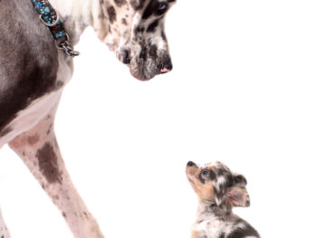 Big spotted dog looking down at a tiny spotted dog with similar black, white, and brown coloring.