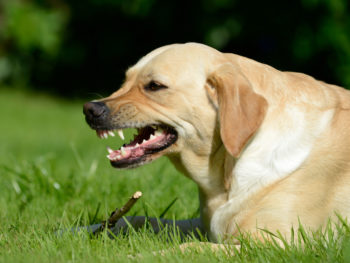 An angry dog bares its teeth while guarding the stick at its feet and lying in green grass.