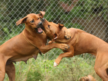 Two large brown dogs fight within a fenced area outside.