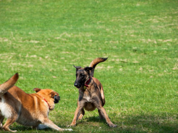 Two brown dogs playing around in the grass at a park