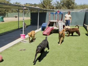A female trainer watches over a group of seven adult dogs while they play in a fenced-in outdoor daycare facility.