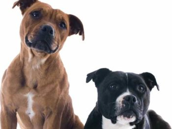 a brown pit bull smiling with a black and white pit bull, while they both look at the camera.