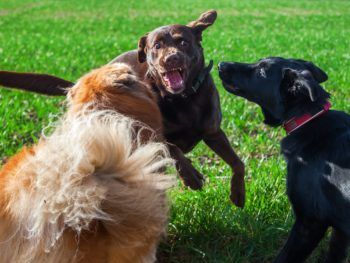 A group of three dogs engaged in a fight outside.
