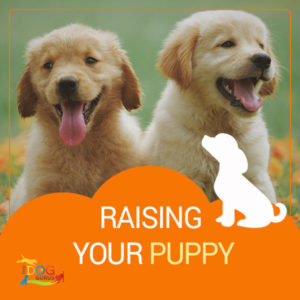 "Two Golden Retriever puppies sitting beside one another in a grassy area. The writing below the image reads, ""Raising your puppy."""